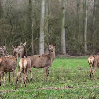 Edelherten in Het Groene Woud. Foto: James van Leuven