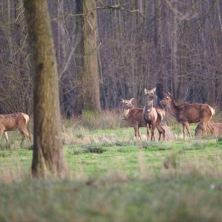 Edelherten in Het Groene Woud
