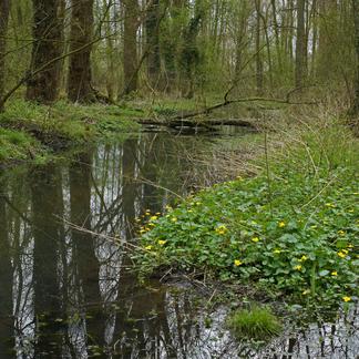 Dotterbloemen in Het Groene Woud. Foto: Bert Vervoort