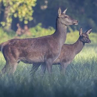 Edelherten in Het Groene Woud. Foto: Marco Renes, Brabants Landschap