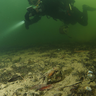 Amerikaanse gevlekte rivierkreeft en duiker (foto: Roel van der mast)