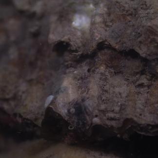 Platte oester, Voordelte, foto: Onderwaterbeelden