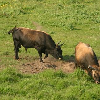 Twee stieren in een stierenkuil op de Hellegatsplaten
