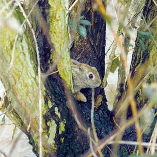 Konijn in boom tijdens hoogwater 1995