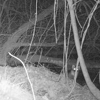Camervalfoto van boommarter Kempen~Broek