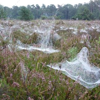 Heide spinrag