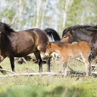 Exmoor pony's