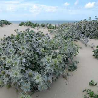Blauwe zeedistel in duinen
