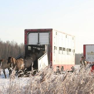 Konikpaarden Letland