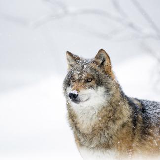 Wolf Foto Bob Luijks