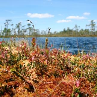 Letland Kleine Veenbes en Zonnedauw