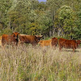 Runderen in Letse natuur