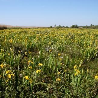 Pape Natuurpark Gele lis