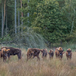 Wisenten Maashorst, foto: Maurice van Doorn