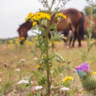 Veel insecten, zoals deze metaalvlinder hebben nectar nodig en dus bloeiende bloemen.
