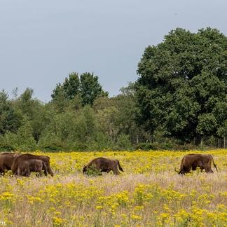 Extensieve begrazing zorgt voor bloemrijke graslanden op de Maashorst.