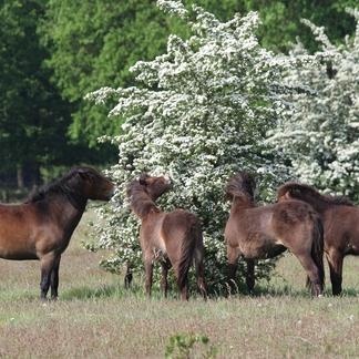 Exmoors eten meidoornbloesem, foto: Maurice van Doorn
