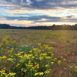 De Maashorst bloeit