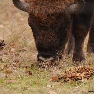 Wisenten eten paddenstoelen, foto: Arjen Boerman, FREE Nature