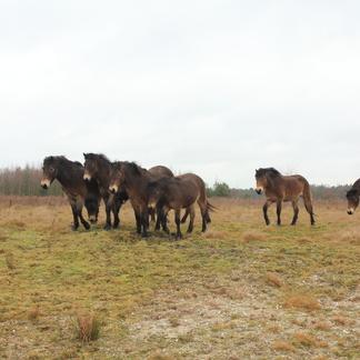Exmoorpony's op de Maashorst