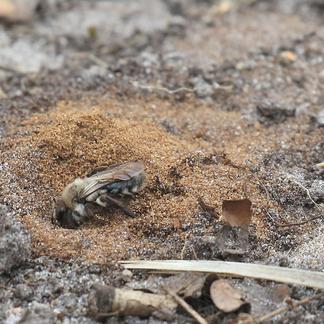 Grijze zandbij is talrijk aanwezig op de Maashorst en gebruiken de kale grond van wissels en zandbaden om hun nestje in te graven. Ze verzamelen stuifmeel voor hun nageslacht.