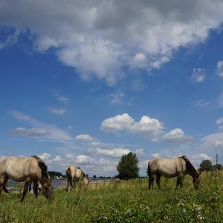 Konikpaarden in de Millingerwaard