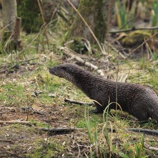 Otter; waterliefhebber en oeverbewoner
