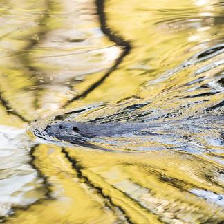 Zwemmende otter. Foto: Bob Luijks/Natuurportret