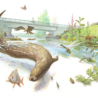 De otter is hét boegbeeld voor waterkwaliteit