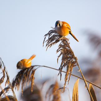 Baardamnnetje, baardman, rietvogel