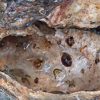 Op de geplaatste schelpen hebben zich naast oesterlarfjes ook muiltjes en mosdiertjes vastgezet.