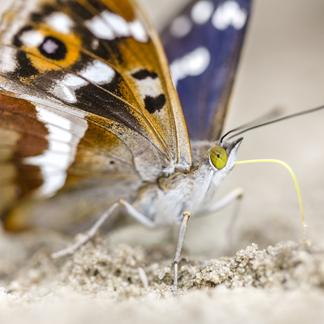 Grote weerschijnvlinder. Foto: Alex Huizinga, Nature in Stock