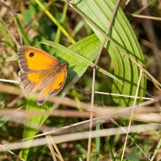 Oranje zandoogje in Het Groene Woud in Brabant