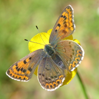 Bruine vuurvlinder. Foto: Kim Huskens