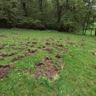 Wroetspoor wild zwijn Drielandenpark