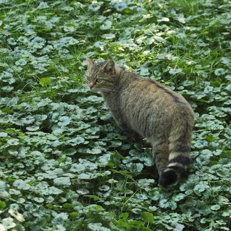 Wilde kat Foto Kim Huskens