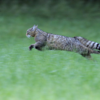 Wilde kat. Foto: Fabrice Cahez, Nature in Stock