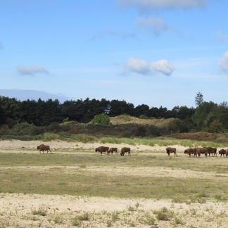 Konikpaarden en wisenten in het Kraansvlak. Foto: Louise Prevot