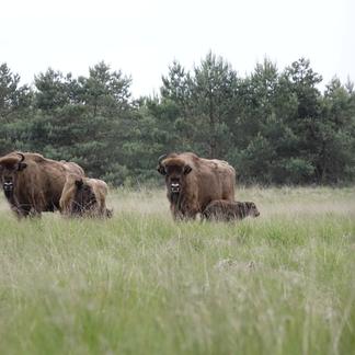 Wisentkalf geboren op de Veluwe. Foto: Dirk Goudkuil, Staatsbosbeheer