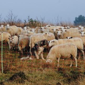 Kuddewaakhonden tussen schapen en geiten. Foto: Ray Dorgelo, Canine Efficiency
