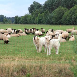 Schaapskudde in een wei met flexinetten en kuddewaakhonden in de Lausitz, Duitsland.