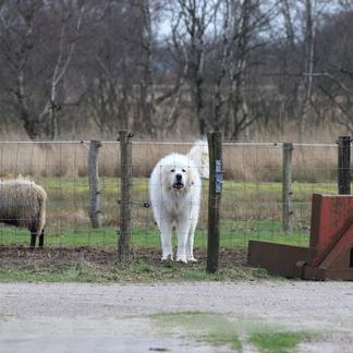 Kuddebewaker beschermt de kudde