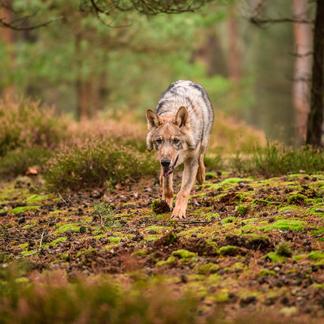 Wolf. Foto: Vaclav Sebek