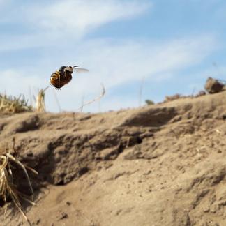 Bijenwolf met prooi