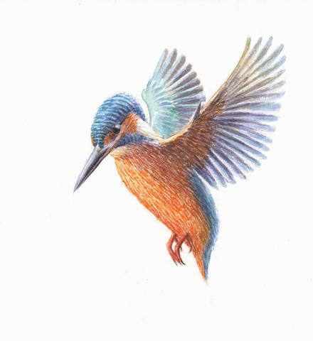 IJsvogel, tekening: Jeroen Helmer