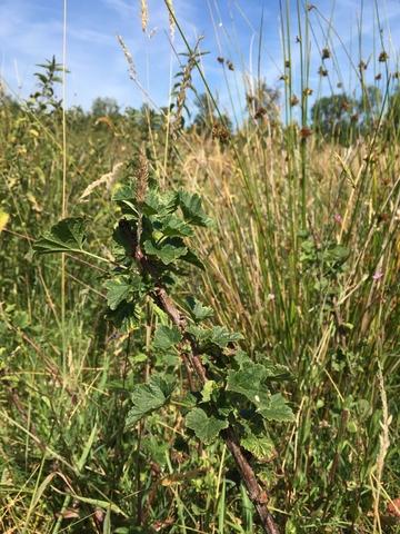 Bosaalbes in het Brabantse natuurgebied De Mortelen. Foto: Sjors de Kort, Brabants Landschap