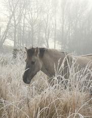 Konikpaard in de winter