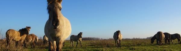 Konikpaard Bisonbaai