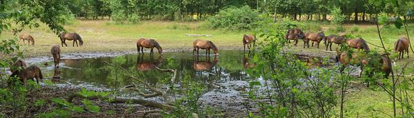 Exmoor pony's bij een opdrogende poel. De beheerder houdt de conditie van de kuddes en de beschikbaarheid van water en voedsel in de gaten.