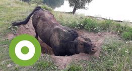Fanatieke stier in zijn kuil